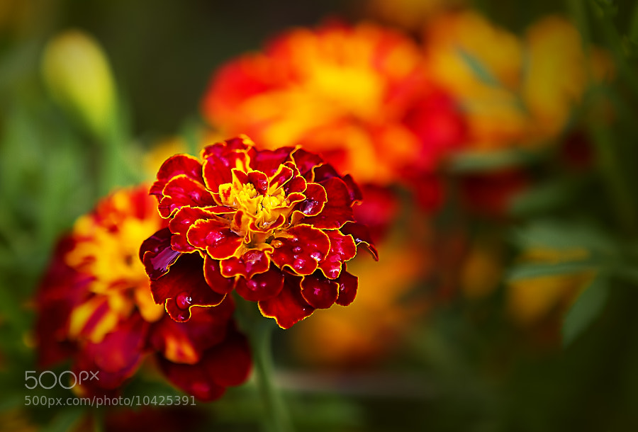 Photograph Tagetes by Wim Bolsens on 500px