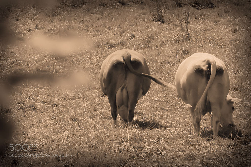 Photograph cows by mel mayse on 500px