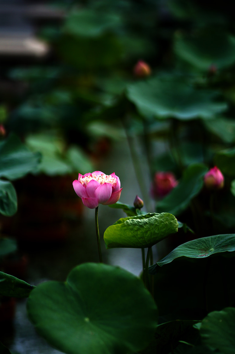 Photograph Lotus #4 by Diep Nguyen on 500px