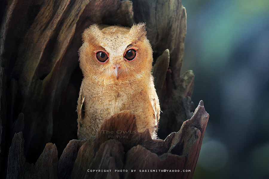Photograph FB pages/The Owls Picture by Sasi - smit on 500px