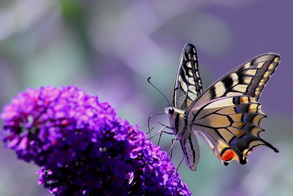 Photograph swallowtail , the last by wise photographie on 500px