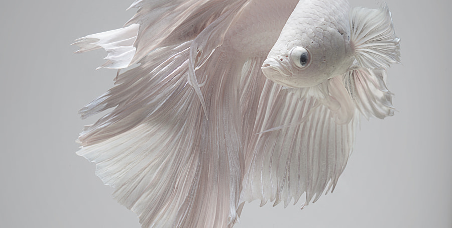 White on grey betta fish | visarute angkatavanich on 500px.com