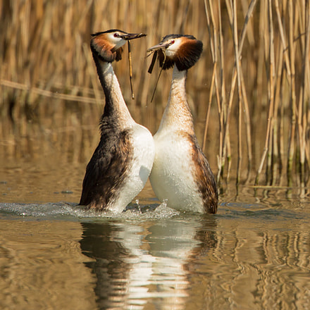 Great Crested Grebes Dancing
