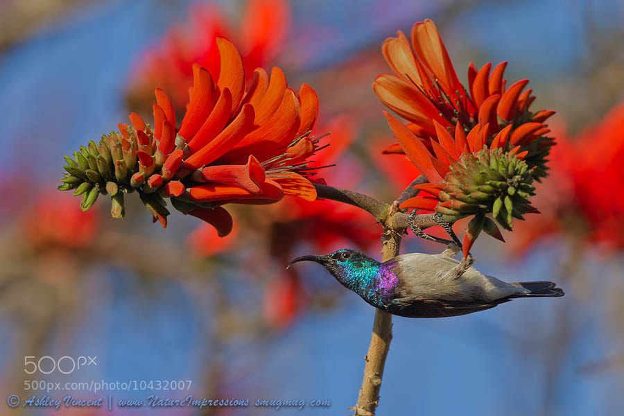 Been at least a couple of months since I last posted up anything new, and even longer since I posted up some birdies, so thought I'd share a couple with you now. For any of you who may have seen some of my previous posts, you'll already know that Sunbirds are my favourites of the avian family, which is why when visiting South Africa last year, instead of devoting all my waking hours to the pursuit of felines – my favourite animal family – I made sure to set enough hours aside to search for a few of Africa's most beautiful species of Sunbirds.