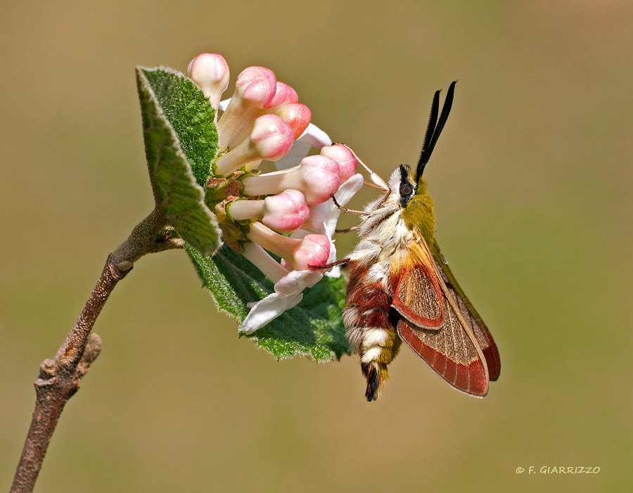Photograph Broad-bordered bee hawkmoth by Fabio Giarrizzo on 500px