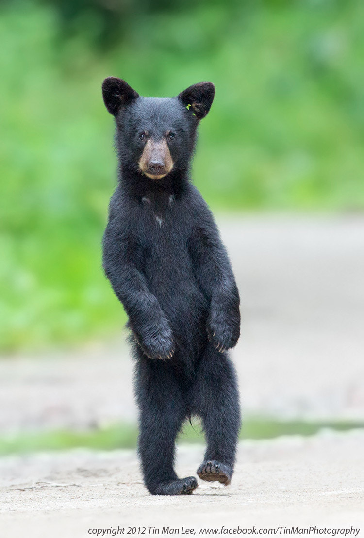 Photograph Drunken Black Bear Cub by Tin Man on 500px