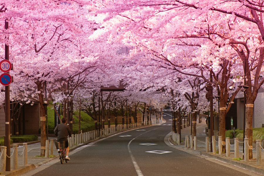 most beautiful cities in the world -Sakura ride by Pat Charles on 500px.com