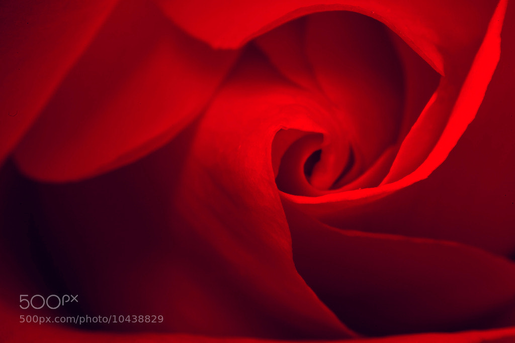 Photograph Rose by Ömer Alp Evirgen on 500px