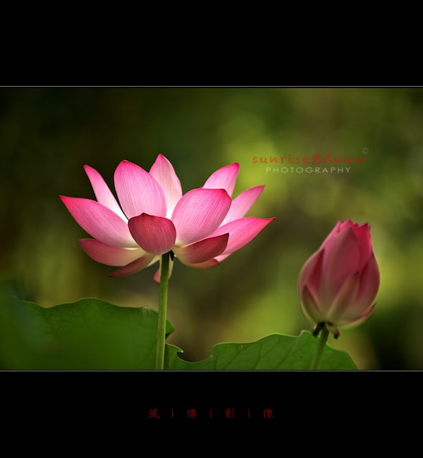 Photograph Sacred Lotus by SUNRISE@DAWN photography 風傳影像 on 500px
