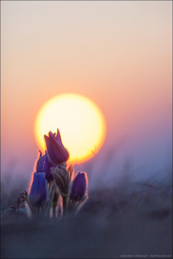 Family Pulsatilla enjoys the Sunrise