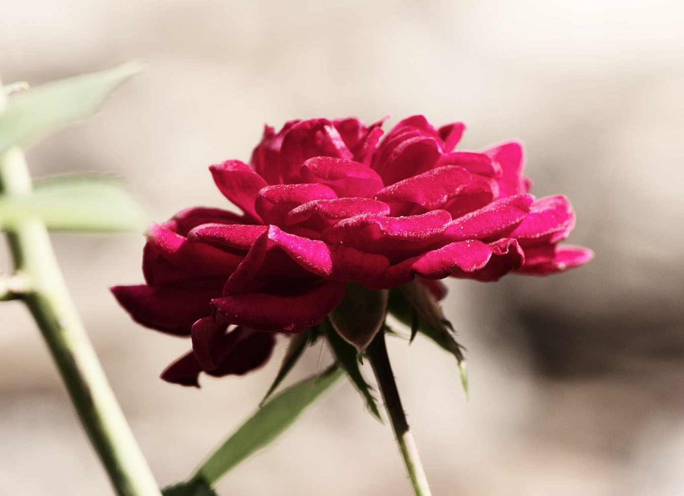 Photograph Red minature rose by DS Conyers on 500px