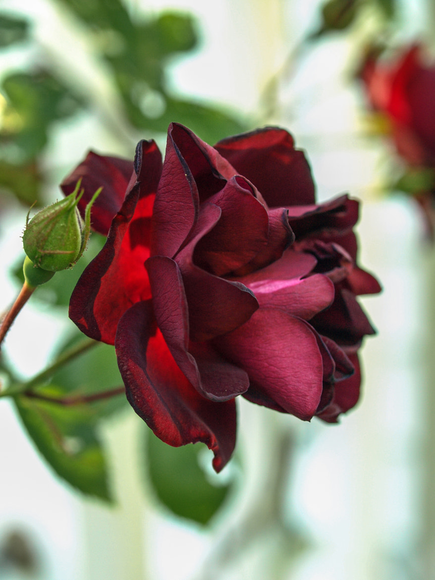 Photograph A Rose is a Rose by Kim Accorsi on 500px