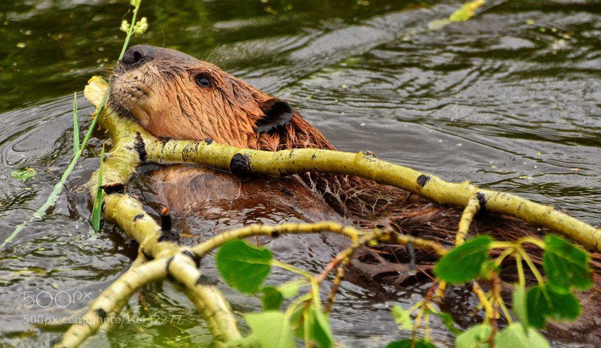 Photograph Wild Beaver at Work by Jeff Clow on 500px