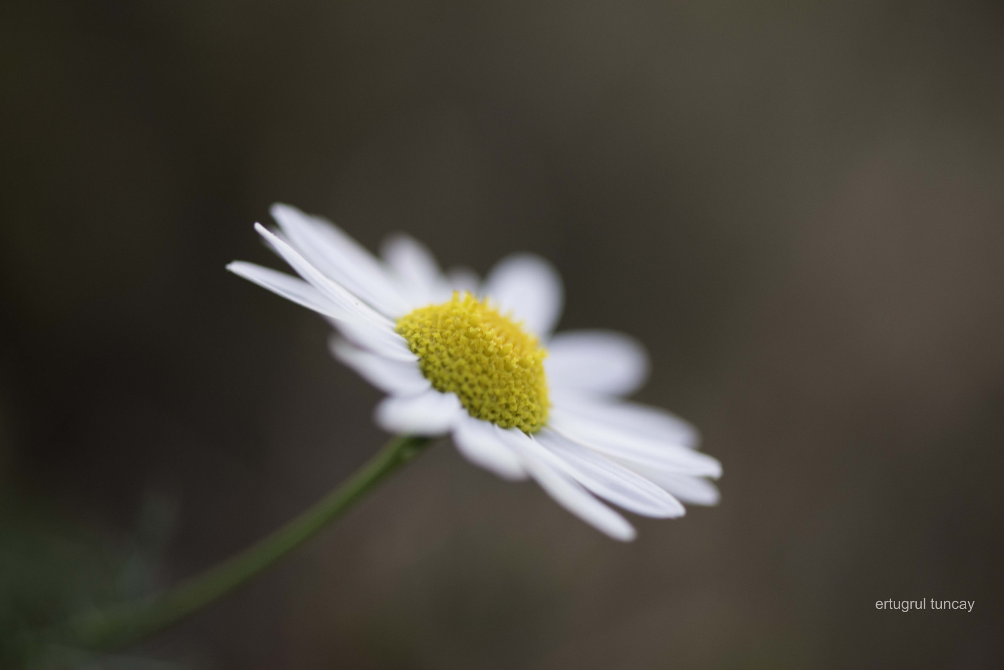 Photograph a lonely daisy by Ertugrul Tuncay on 500px