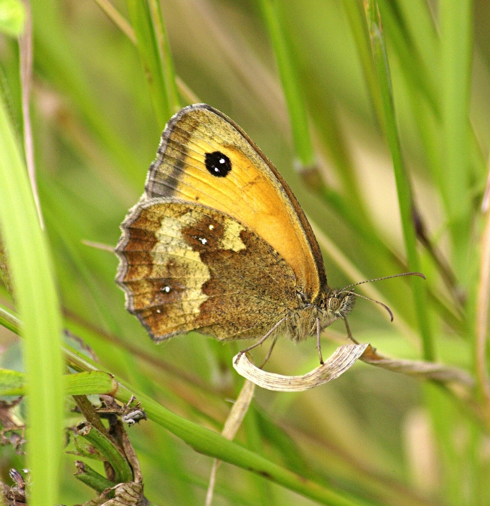 Photograph Gatekeeper Butterfly by Chrissie Barrow on 500px