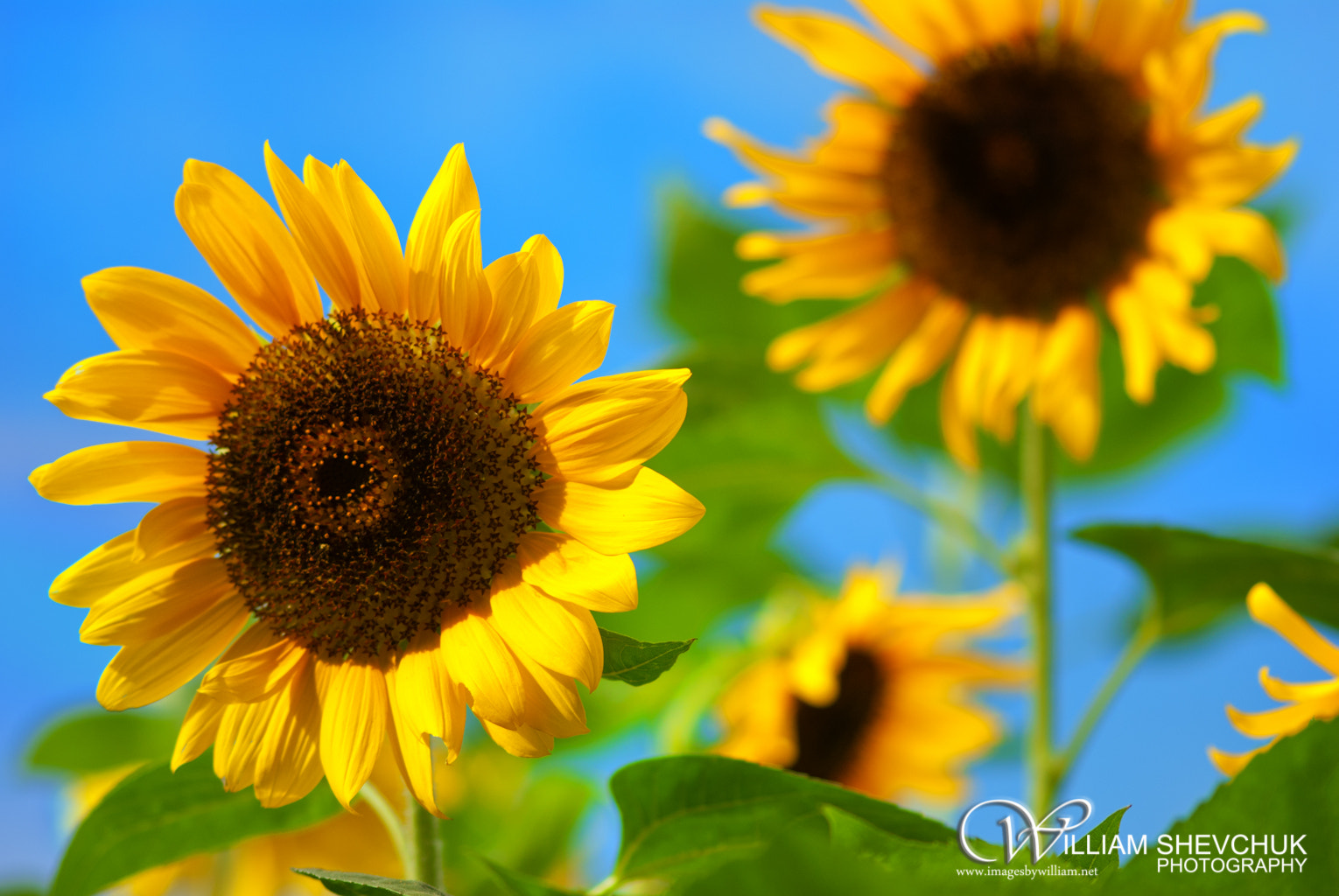 Photograph Girasoles by William Shevchuk           Images by William on 500px