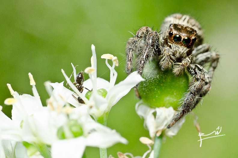 Photograph Jumping Spider and pity Ant by Ssyam Abdullah on 500px