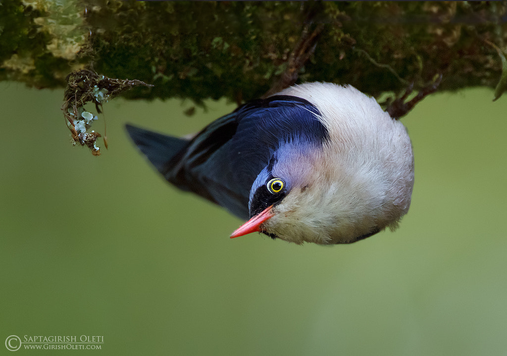 Photograph Velvet-fronted Nuthatch by Saptagirish Oleti on 500px
