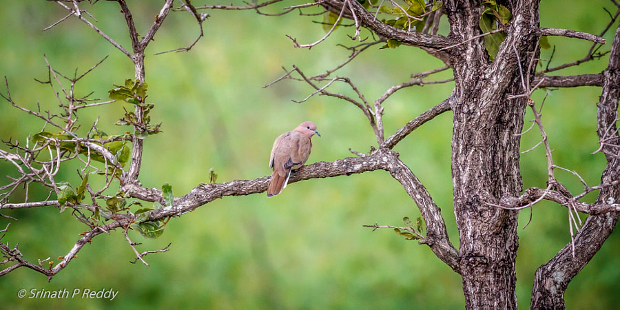 Laughing Dove...