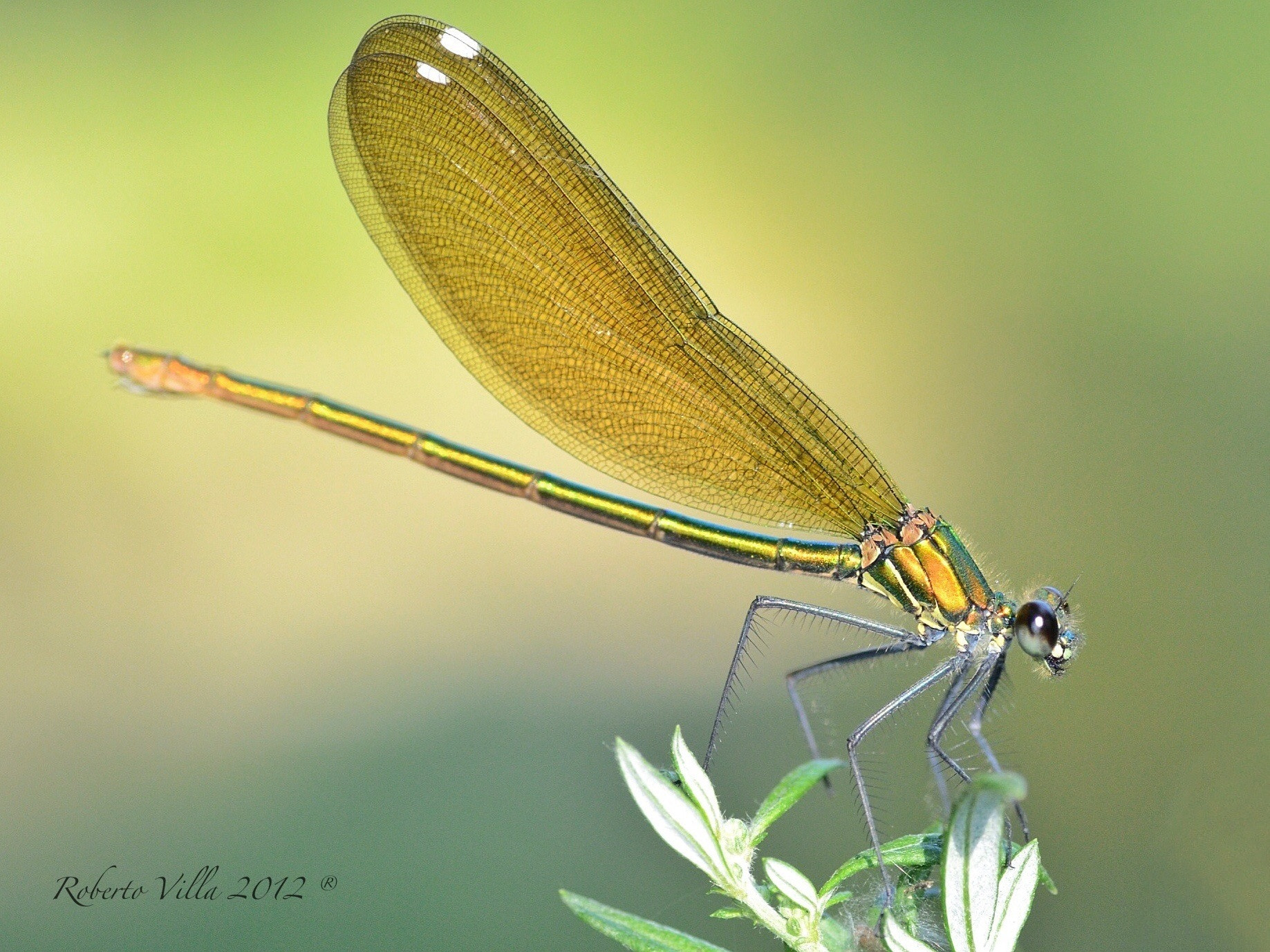 Photograph Dragonfly by Roby Villa on 500px