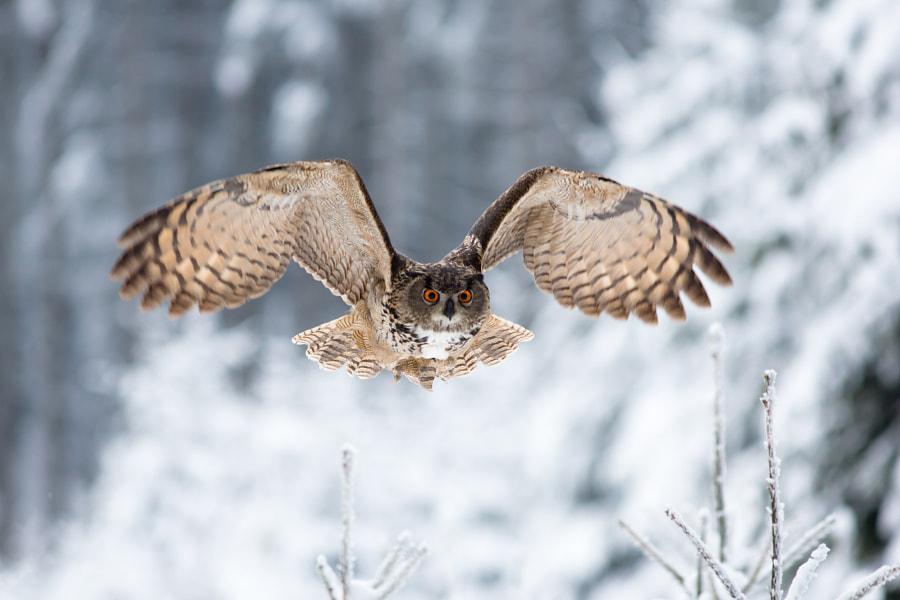 Photograph Eurasian eagle-owl by Milan Zygmunt on 500px