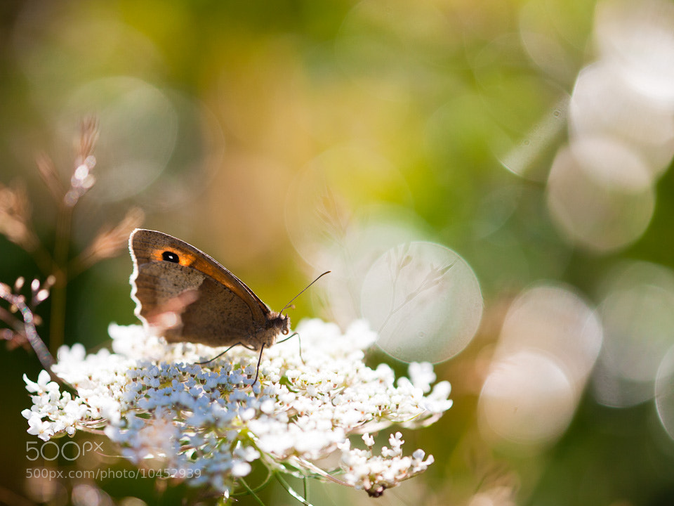 Photograph Meadow brown by Richard Loader on 500px