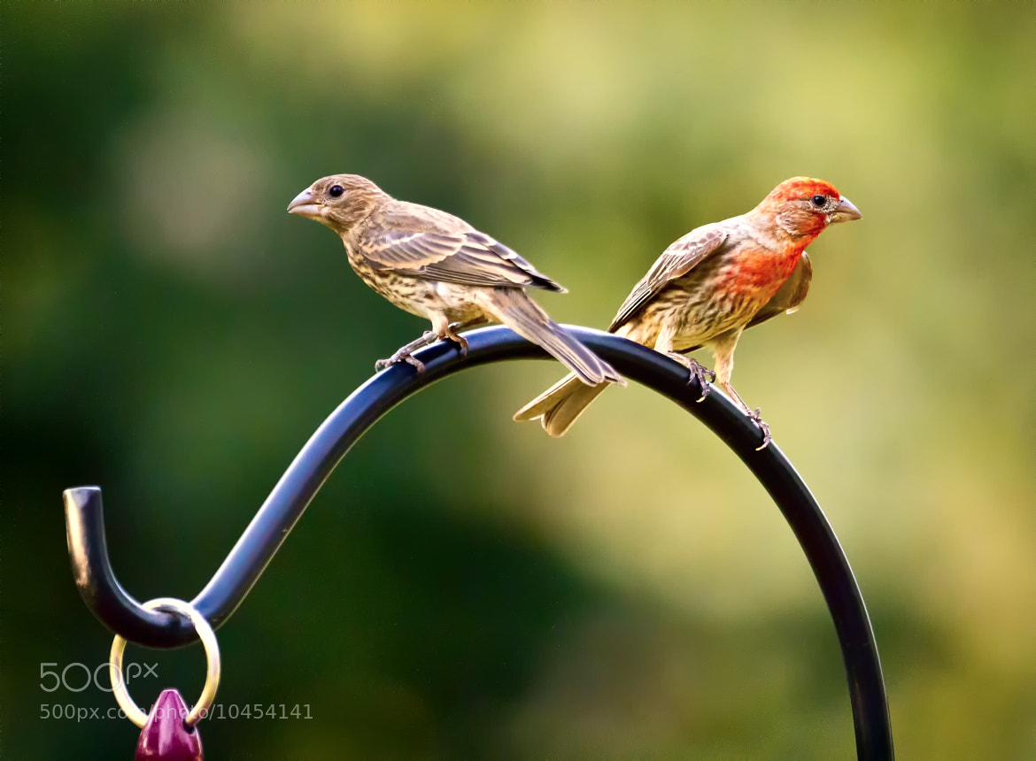 Photograph Male and Female House Finch by Linda Tiepelman on 500px