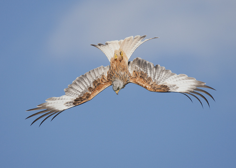 Photograph Red Kite by Michael Southcott on 500px