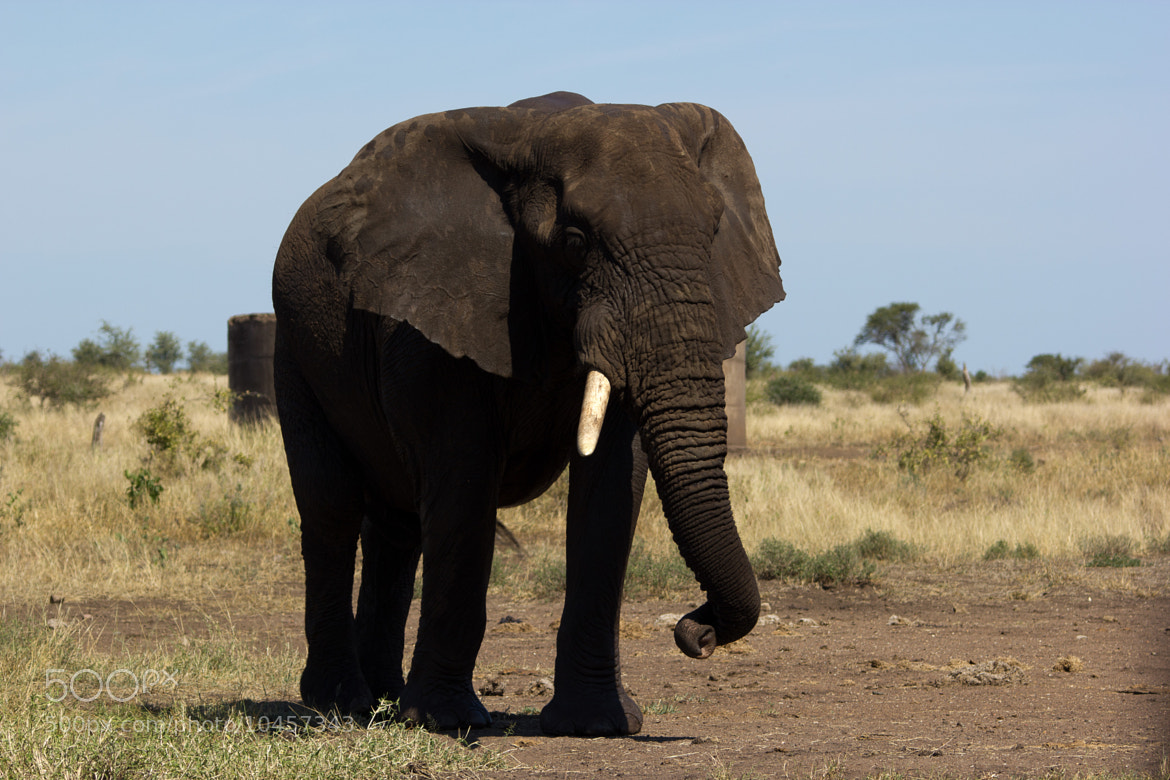 Photograph Old Elephant Bull with 1 task by Marcus Tejessy on 500px
