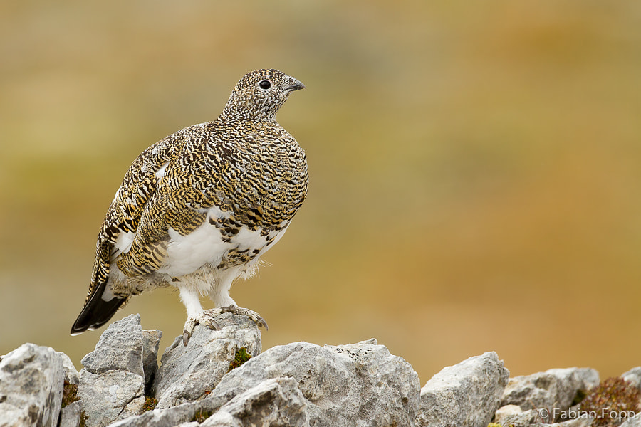 Rock Ptarmigan (Lagopus muta) by Fabian Fopp on 500px.com