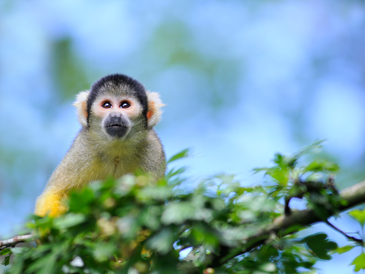 Photograph Squirrel Monkey by Rob Janné on 500px
