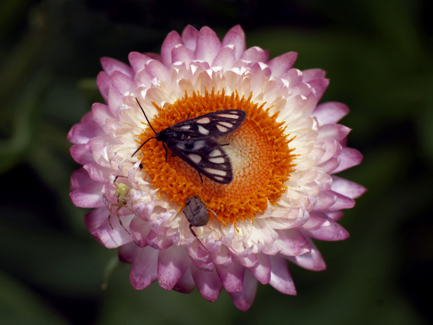 Photograph Strawflower by SIJANTO NATURE on 500px
