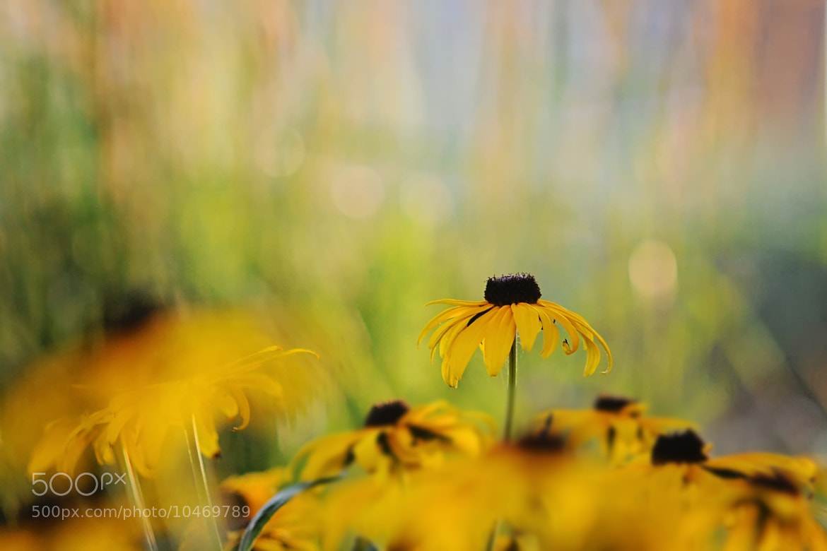Photograph Rudbeckia Obsession by Shilpa Shenoy on 500px