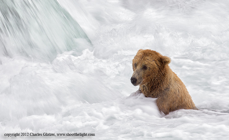 Photograph Brown bear in the whirlpool by Charles Glatzer on 500px