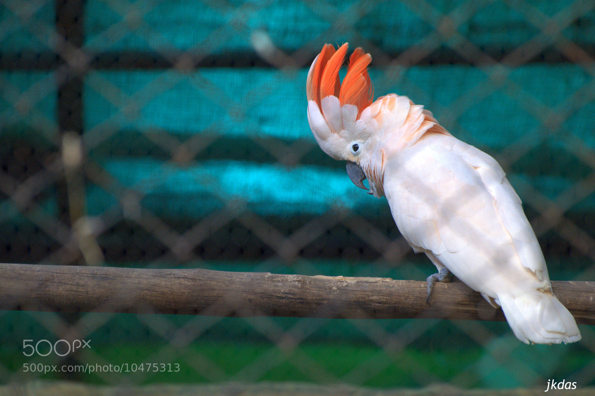 Photograph Cockatiel Dudes @ Trivandrum Zoo by Jyothy Das on 500px