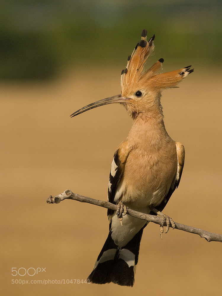 Photograph Hoopoe by Tihamér Balla on 500px