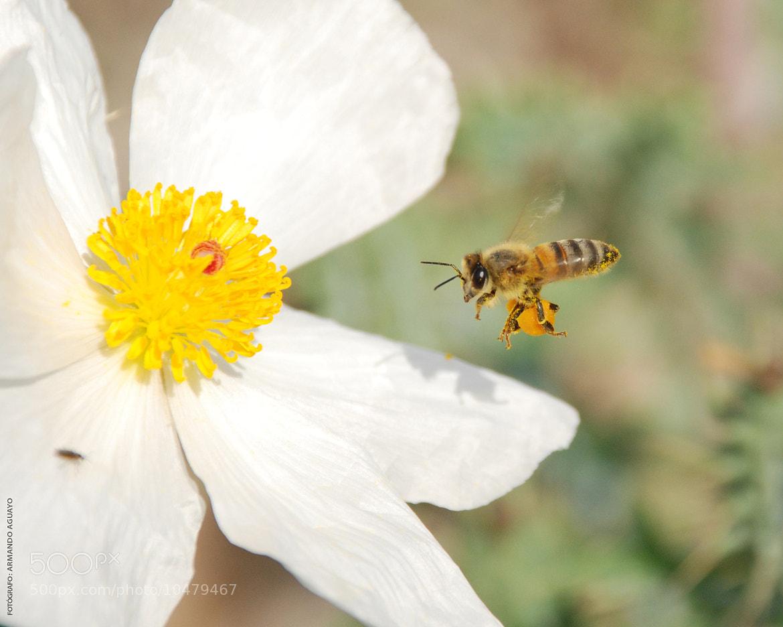 Photograph Apis mellifera / abeja trabajando by Armando Aguayo Rivera on 500px