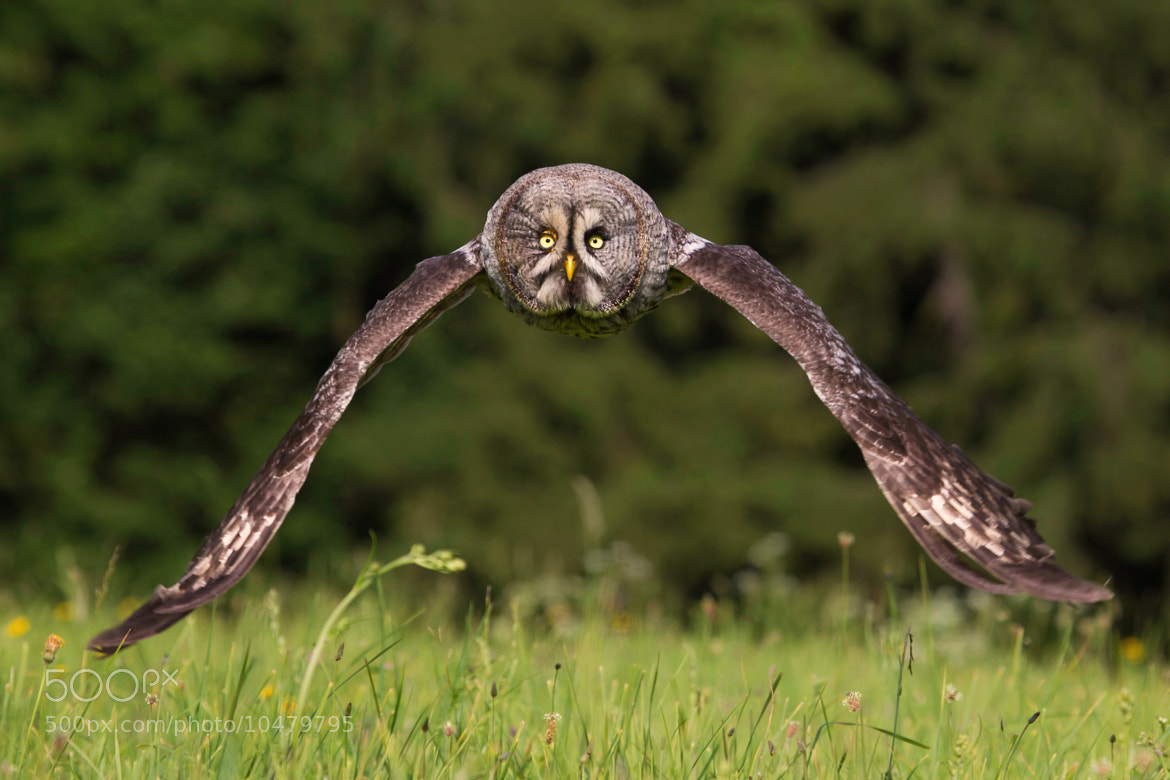 Photograph  Great Grey Owl by Milan Zygmunt on 500px
