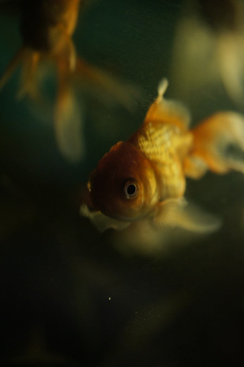 Photograph it's a Goldfish. by Afzal Khan on 500px