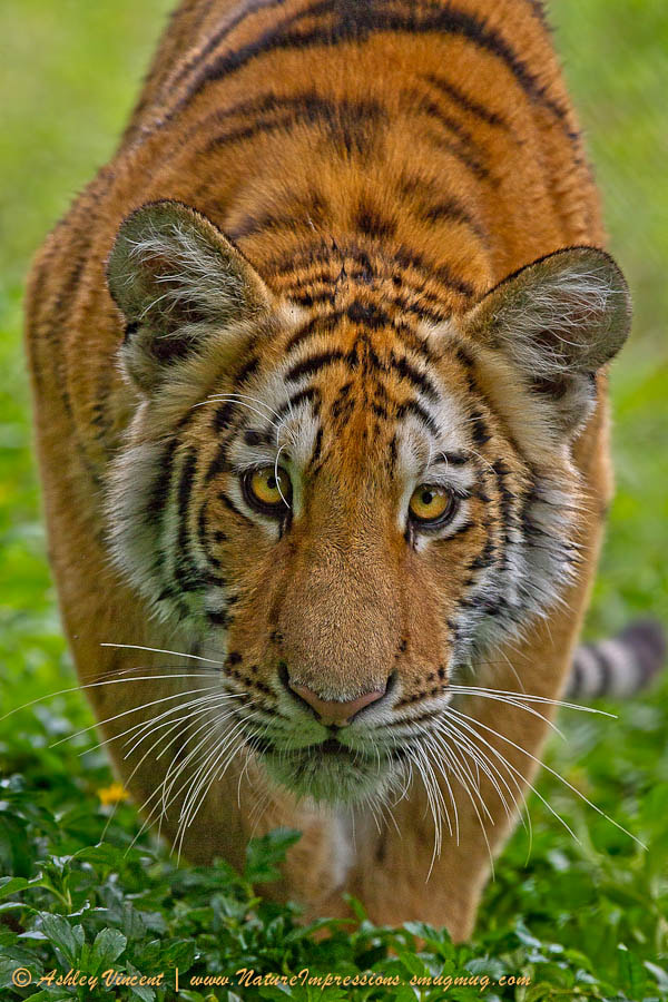 Photograph Siberian Stalker by Ashley Vincent on 500px