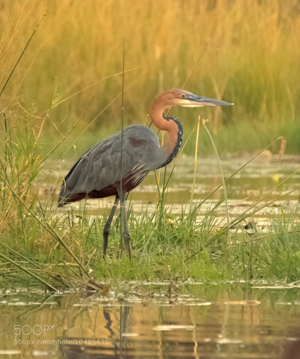 Photograph Goliath Heron by Marcus Tejessy on 500px