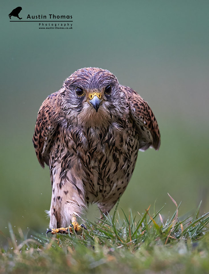 A wet Kestrel running in the rain
