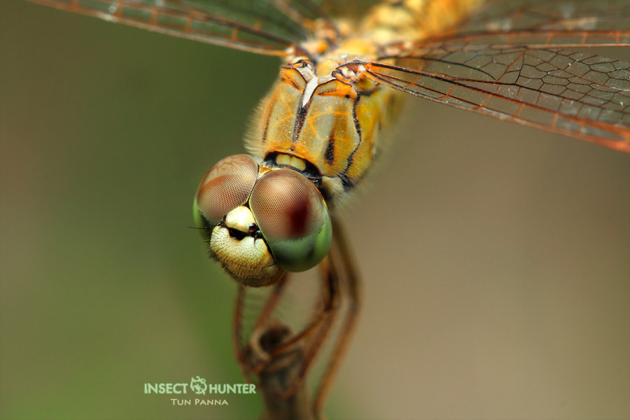 Photograph Dragonfly by tun punna on 500px