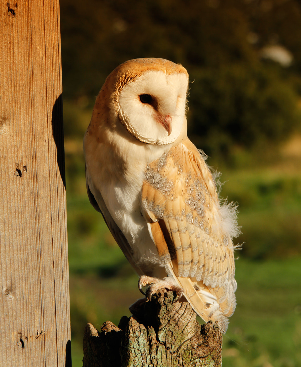 Photograph Evening Barn Owl by Ian Rentoul on 500px
