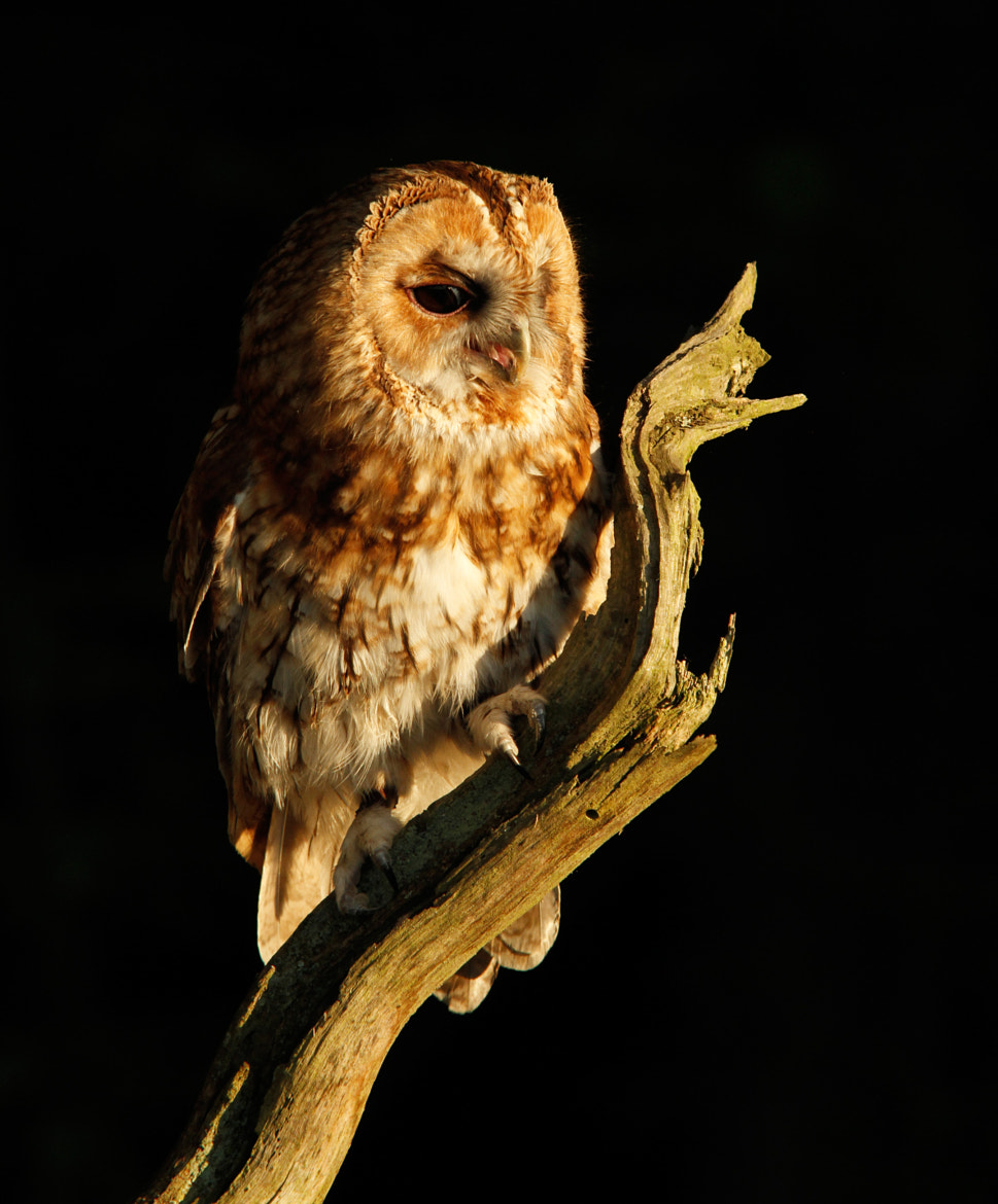 Photograph Evening Tawny Owl by Ian Rentoul on 500px