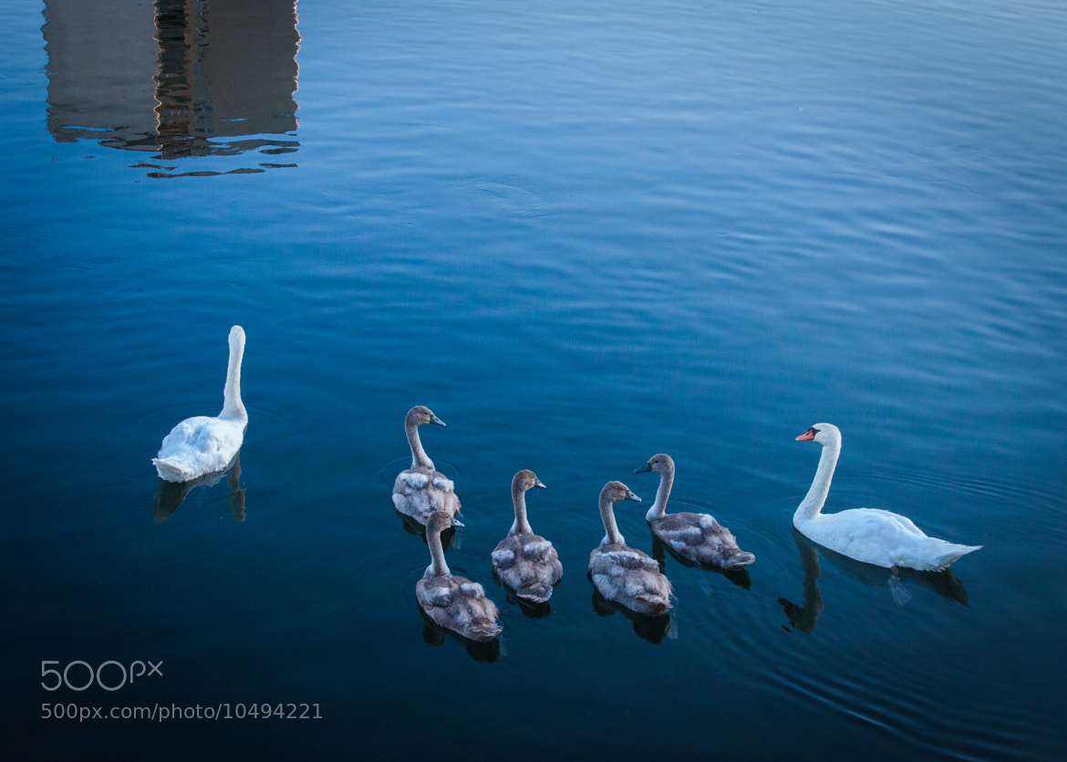 Photograph Swans on city river (2) by Tiberiu Ichim on 500px