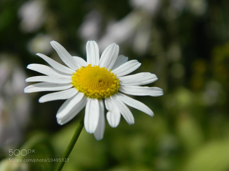 Photograph Daisy by Irina Kalashnikova on 500px