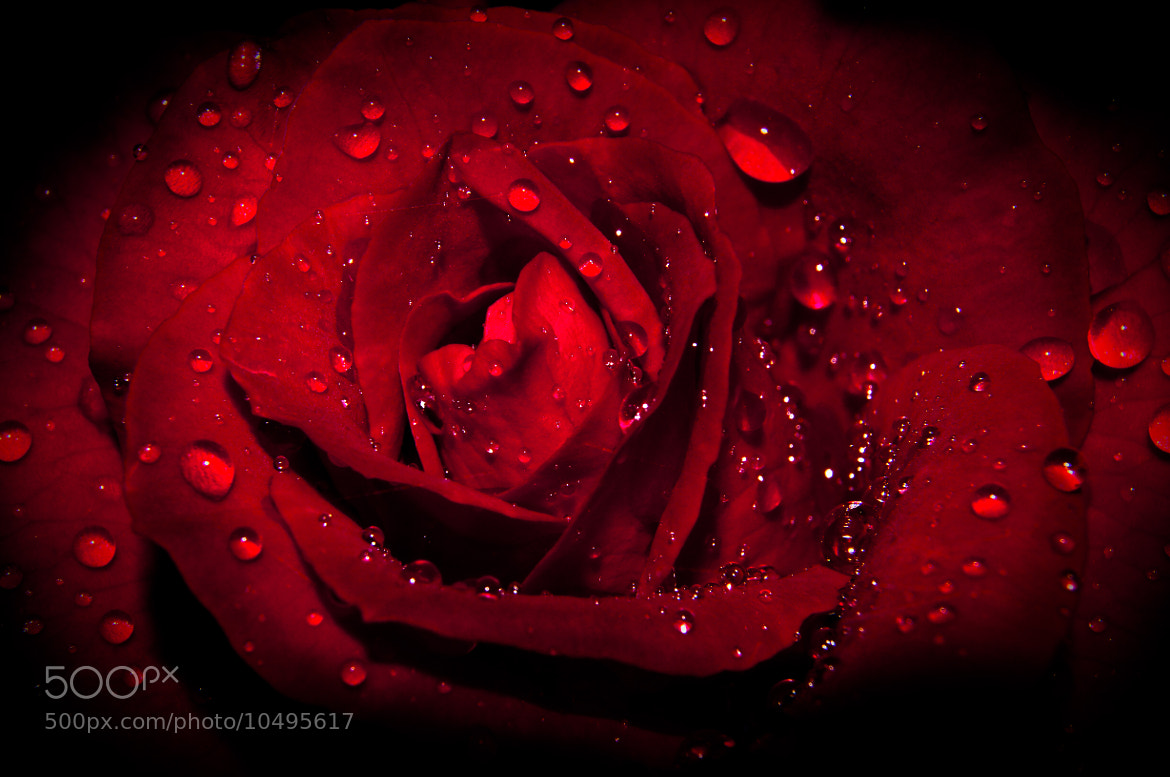 Photograph A fresh rose for somebody ;) by Abhi Nandan on 500px