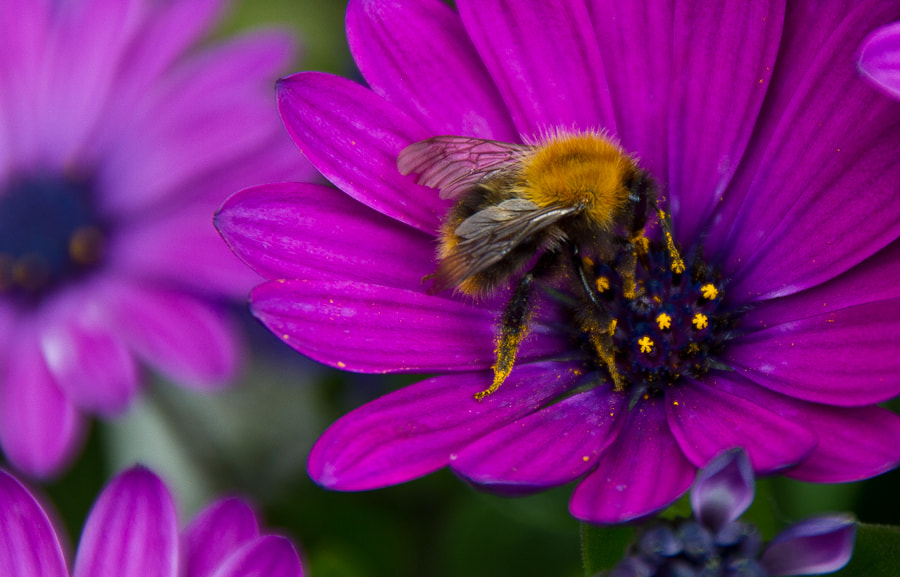 Photograph busy bumblebee by Bjørn-Gunnar Lunde on 500px