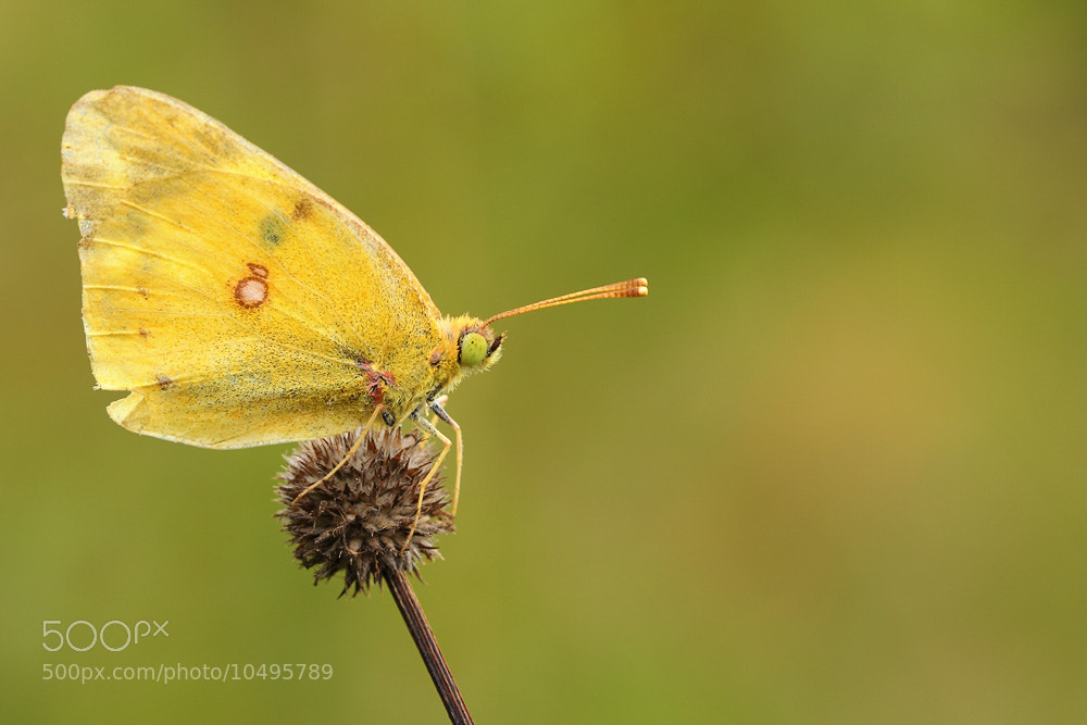 Photograph yellow butterfly by Manfred Huszar on 500px